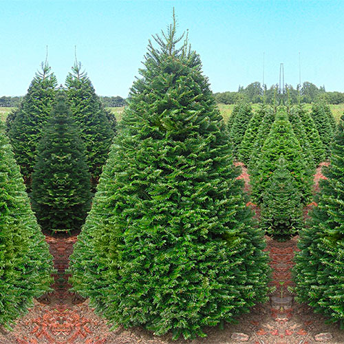 Grand Christmas Tree: Many Varieties Of Real Christmas Trees To Choose From At