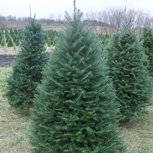 Many Varieties Of Real Christmas Trees To Choose From At Beckwith