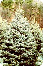 Colorado Blue Spruce from Beckwith Christmas Trees-the Christmas Tree Station in Hannibal, New York.