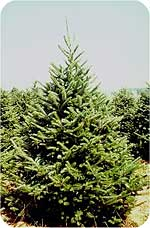 Balsam Fir from Beckwith Christmas Trees-the Christmas Tree Station in Hannibal, New York.