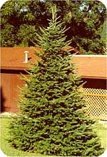 Canaan fir from Beckwith Christmas Trees-the Christmas Tree Station in Hannibal, New York.