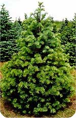 Concolor fir, or white fir Christmas tree, from Beckwith Christmas Trees-the Christmas Tree Station in Hannibal, New York.
