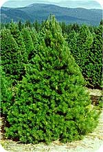 Scotch Pine from Beckwith Christmas Trees-the Christmas Tree Station in Hannibal, New York.